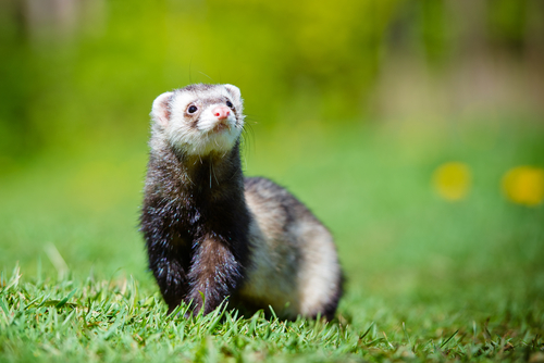 ferret genome and CF