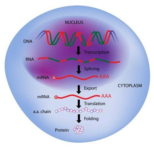 CF Researchers Identify Signaling Networks Controlling Mutant CFTR Protein Folding